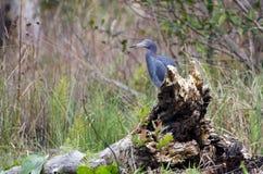 Little Blue Heron bird, Okefenokee National Wildlife Refuge Stock Photography