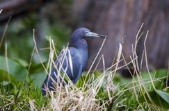 Little Blue Heron bird, Okefenokee National Wildlife Refuge Royalty Free Stock Image