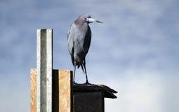 Little Blue Heron bird perched on duck box, Georgia USA Stock Photo