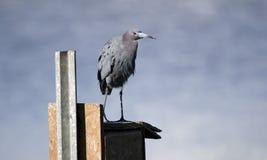 Little Blue Heron bird perched on duck box, Georgia USA Stock Photos
