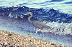 Little blue heron coming out of the water Stock Photo