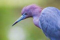 Little Blue Heron. Detailed Facial Portrait Of Little Blue Heron Showing Colors Of Head And Shoulders Stock Photo