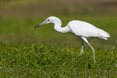 Little Blue Heron eating a bug in a field. This Juvenile Little Blue Heron caught a bug Royalty Free Stock Photos