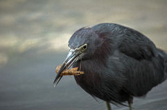 Little blue heron eats shrimp Stock Images
