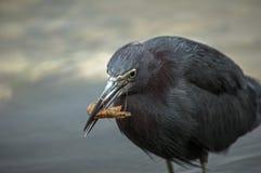 Little blue heron eats shrimp Stock Images