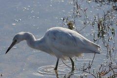 Little blue heron Egretta caerule 3 Royalty Free Stock Photos
