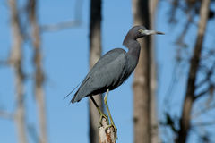 Little Blue Heron (Egretta caerulea) Royalty Free Stock Image