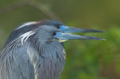 Little Blue Heron, Egretta caerulea Stock Photos
