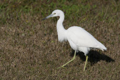 Little Blue Heron (Egretta caerulea) Stock Photography