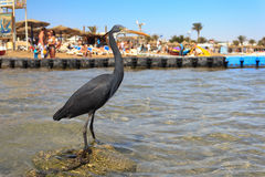 Little blue heron (Egretta caerulea) Royalty Free Stock Photography