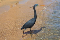 Little blue heron (Egretta caerulea) Stock Photo