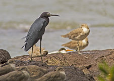 Little Blue Heron (Egretta caerulea) Stock Photos