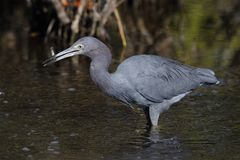 Little Blue Heron catching a fish - Merritt Island, Florida Royalty Free Stock Photo