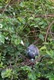 Little Blue Heron, Egretta caerulea Royalty Free Stock Photos