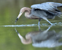 The little blue heron (Egretta caerulea) Stock Photo