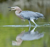 The little blue heron (Egretta caerulea) Stock Photography