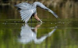 Little Blue Heron (Egretta caerulea) fishing Stock Photography