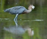 Little Blue Heron (Egretta caerulea) fishing Stock Image