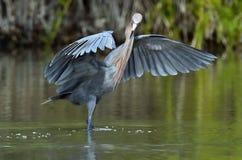 Little Blue Heron (Egretta caerulea) fishing Royalty Free Stock Photo