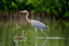Little Blue Heron Stock Images