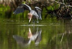 Little Blue Heron (Egretta caerulea) goes on water Stock Photos