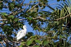 Little Blue Heron, Egretta caerulea Stock Image