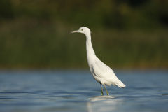 Little-blue heron, Egretta caerulea Stock Image