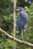 The little blue heron. Egretta caerulea is a small heron Stock Photography