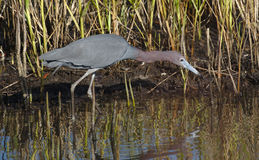 Little Blue Heron(Egretta caerulea) stalking prey Stock Image