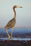 Little Blue Heron, Egretta caerulea, in the waqter, eaqrly morning with, sun, dark blue sea, Florida USA Stock Photos