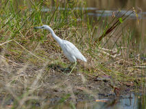 Little blue heron emerging from the pond Royalty Free Stock Photography