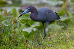 Little blue heron. In the everglades Royalty Free Stock Images