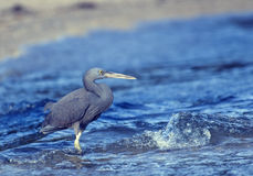 Little blue heron fishing Royalty Free Stock Image