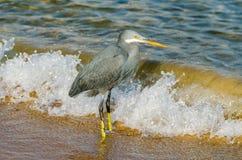 Little blue heron fishing Stock Photos
