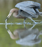 The little blue heron fishing. Stock Photography