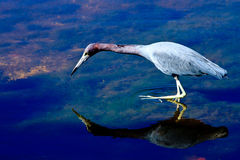 Little Blue Heron Fishing Stock Photography