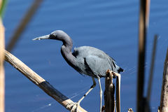 Little Blue Heron Fishing. A small, dark heron arrayed in moody blues and purples, the Little Blue Heron is a common but inconspicuous resident of marshes and stock images