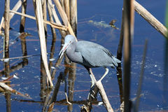 Little Blue Heron Fishing. A small, dark heron arrayed in moody blues and purples, the Little Blue Heron is a common but inconspicuous resident of marshes and royalty free stock photos