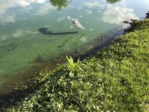Little blue heron flies. Flying blue heron in a green river polluted with algae Royalty Free Stock Photo
