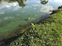 Little blue heron flies. Flying blue heron in a green river polluted with algae Stock Images