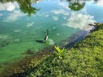 Blue heron in flight. Little blue heron flies over the water Stock Images
