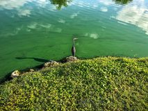 Blue heron in flight. Little blue heron flies over the water Royalty Free Stock Photography