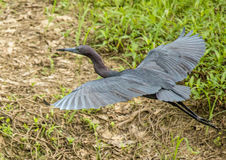 Little Blue Heron in Flight. At Shores Lake Stock Images