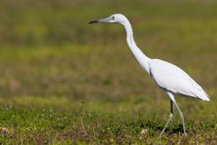 Little Blue Heron foraging in a field. A juvenile Litle Blue Heron standing in a flower field Stock Photography