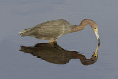 Little Blue Heron foraging in a pond - Florida