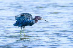 Little Blue Heron at Fort De Soto. This image of a Little Blue Heron was captured at Fort De Soto State Park near Tampa, Florida.  The photograph was taken in Stock Photos