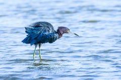 Little Blue Heron at Fort De Soto Stock Photos