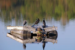 Little Blue Heron and Friends Stock Photography