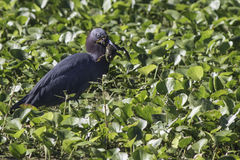 Little Blue Heron with Frog. In beak stock photo