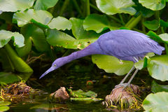 Little blue heron habitat Stock Photography